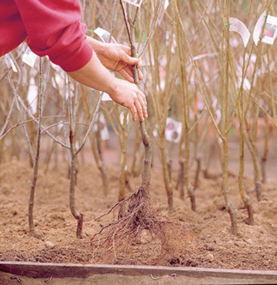 bare root  planting 1
